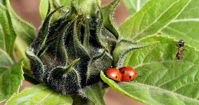 Sunflower, Ladybugs, Ladybug, Ant, Insects, Field