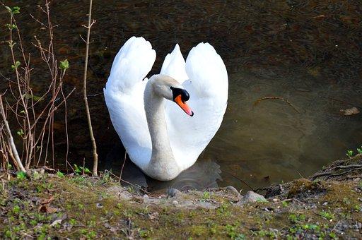 White Swan, Lake, Nature, Water Bird