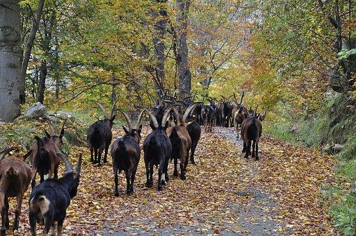 Autumn, Leaves, Goats, Nature, Leaf, Fall, Colorful