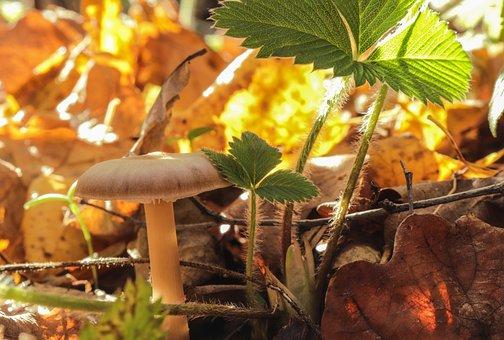 Mushroom, Autumn, Leaflet, Nature, Forest, Rays, Leaves