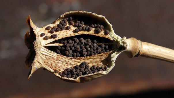 Opium Poppy, Poppy, Mohngewaechs, Poppy Flower, Poppies
