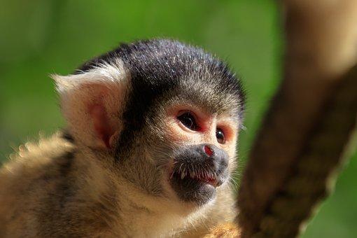 Monkey, Squirrel Monkey, äffchen, Mammal, Cute