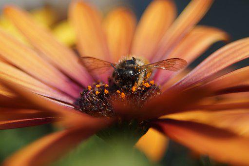 Bee, Flower, Spanish Marguerite, Insect, Natural