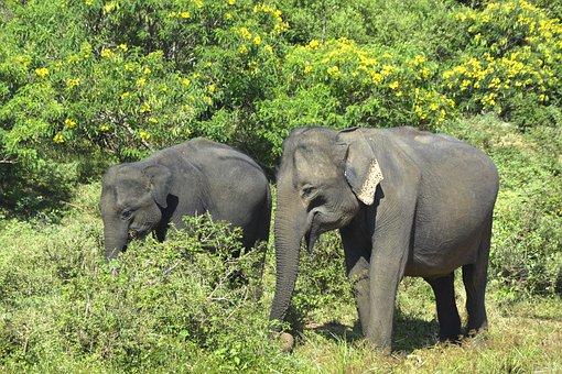 Elephants, Elephant, Nature, Animals, Safari, Asia