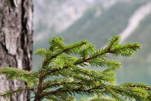 Branch, Pine Needles, Tannenzweig, Tree, Green, Nature