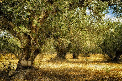 Old Olive Tree, Trunk Old, Olive, Trunk, Age, Tree
