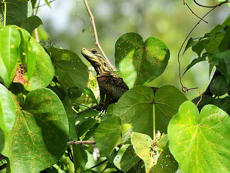 Lizard, Natural, Nature, Green, Outdoors, Wild