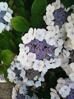 Hydrangea, Flower, Purple, White, Plant, Blossom, Bloom