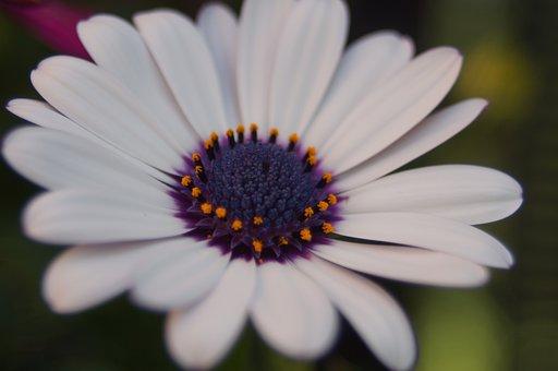 Spanish Marguerite, Flowers, White, Summer, Plant