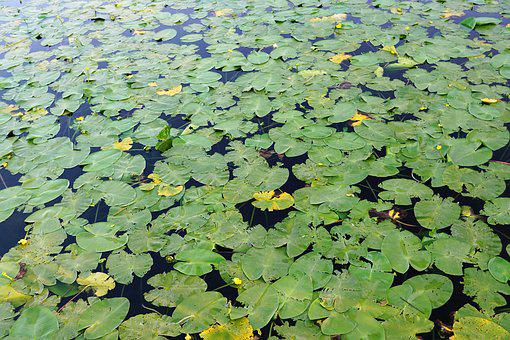 Lake, Pond, Water, Nature, Water Lily