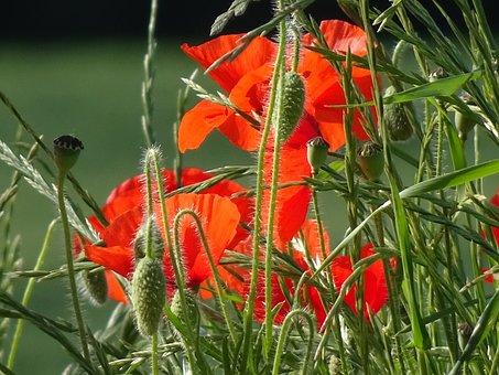 Poppies, Scarlet Red, Poppy, Stems Hairy
