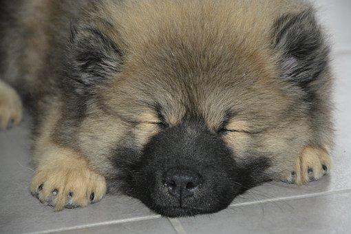 Dog, Puppy Sleeping, Pup, Dog Eurasier Olaf Blue
