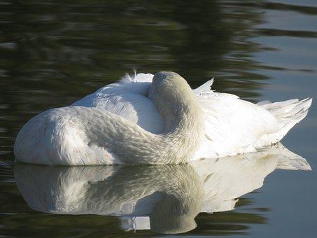 Swan, White, Water, Reflection, Sleeping, Plumage