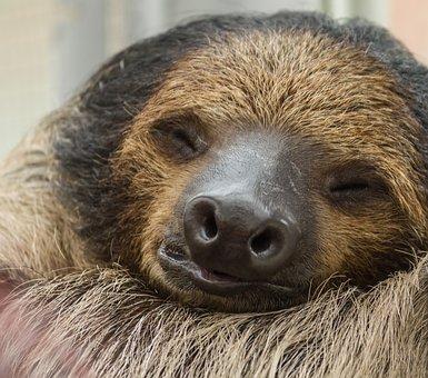 Sloth, Sleeping, Animal, Sleep, Nature, Relaxed