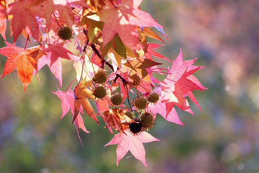 Red Leaves, Branch, Tree, Autumn, Colorful, Season