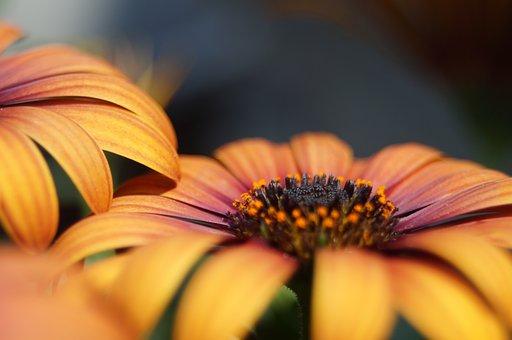 Spanish Marguerite, Flower, Natural, Yellow, Macro
