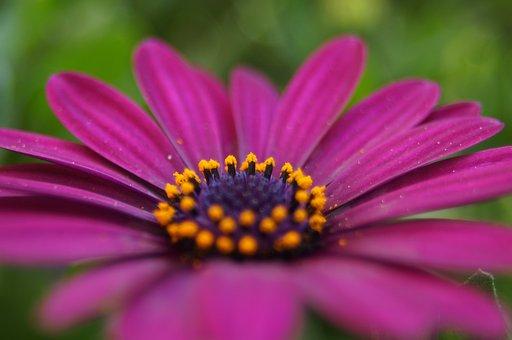 Spanish Marguerite, Flower, Pink, Summer, Natural