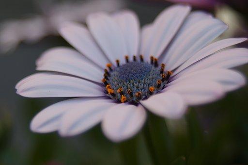Spanish Marguerite, Flowers, Summer, Natural, White