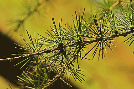 Larch, Needles, Tree, Sprig, Nature, Closeup, Plant