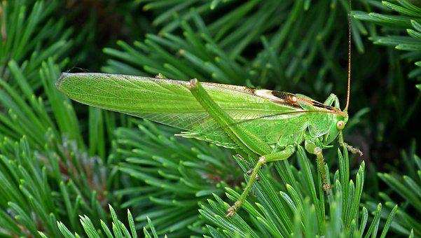 Grasshopper, Insect, Green, Macro, Nature, Spring