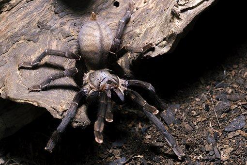 Cyriopagopus, Minax, Thailand Black, Thai Big Black