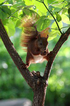 Squirrel, Forest, Summer, Tree, Mammal, Nager, Park