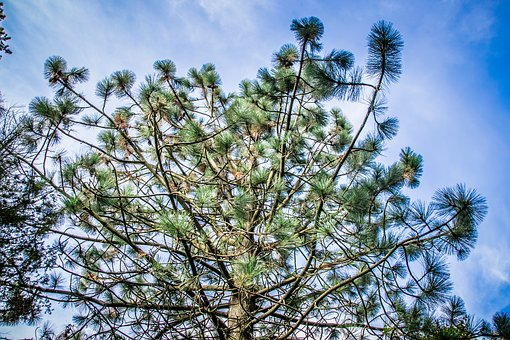 Needles, Tree, Pine, Green, Nature, Conifer, Branch