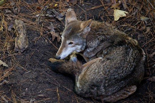 Coyote, Wildlife, Virginia
