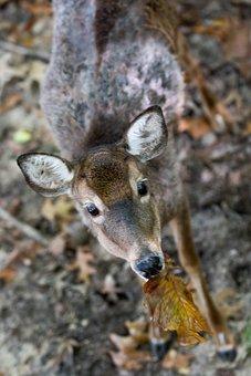 Deer, Virginia, Leaf