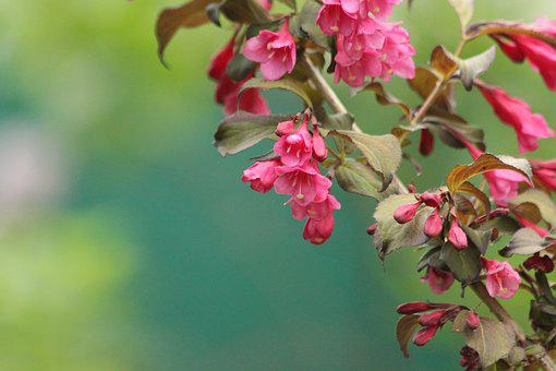 Weigela, Shrub, Bloom, Pink Flowers, Summer, Green