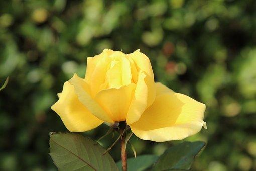 Rosebush, Yellow Rose, Pink Button, Yellow Button