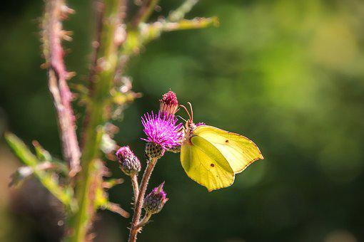 Gonepteryx Rhamni, Butterfly, Animal, Fauna, Nature