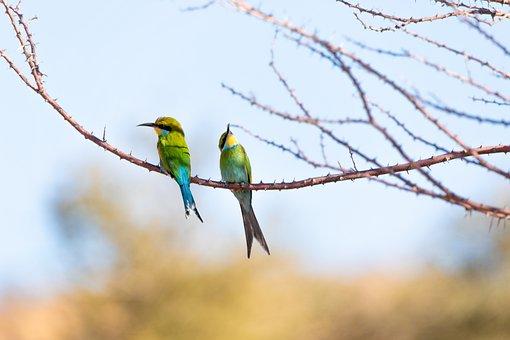 European Bee Eater, Bird, Birds, Animal World, Plumage