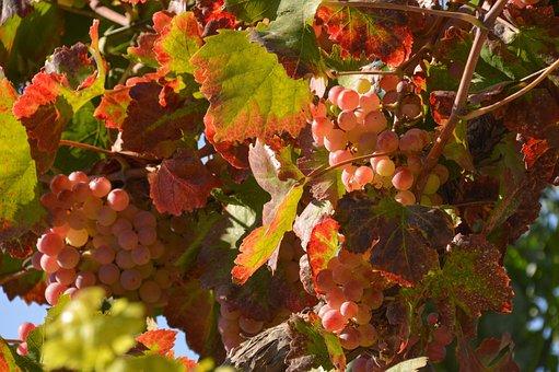 Leaves, Autumn, Grape, Nature, Plant, Garden, Leaf