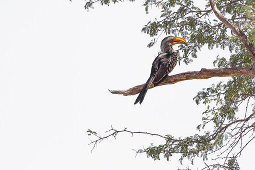 Hornbill, Bird, Namibia, Bill, Exotic, Animal, Africa