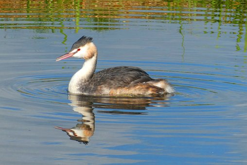 Grebe, Reflection, Bird, Wings, Poultry, Waterfront