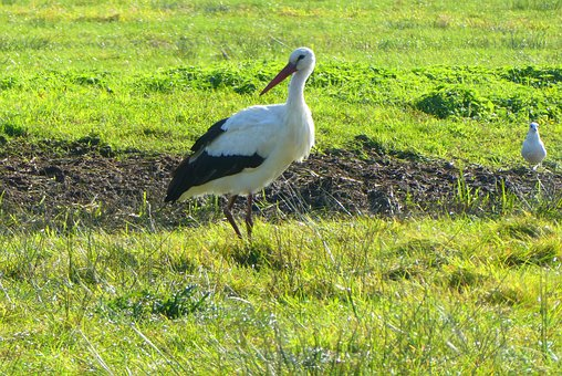 Stork, Grass, Meadow, Bird, Nature, Animal, Landscape
