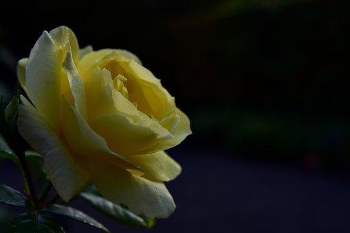 Rose, Yellow, Blossom, Bloom, Flower, Romantic, Plant