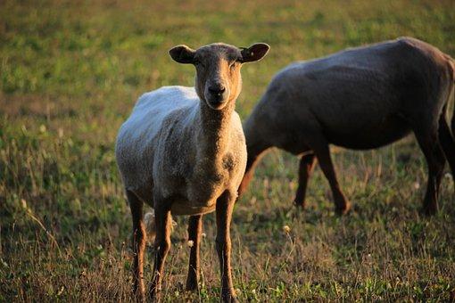 Sheep, Animal, Herd, Meadow, Grass, Mammal, Browser