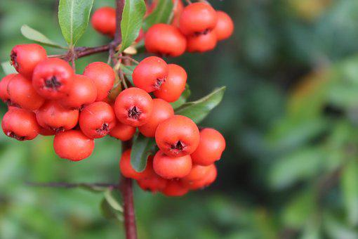 Berry, Plant, Nature, Garden, Bush, Red, Fruit, Branch