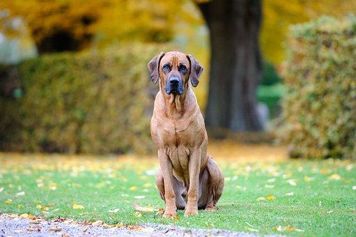 Dog, Bestfriend, Cute, Rhodesian Ridgeback, Hound