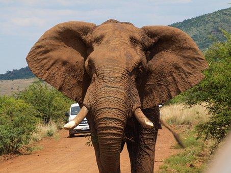 Elephant, Safari, Fangs