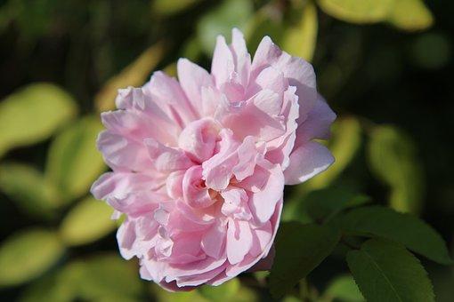 Pink, Pink Rose, English Rose, Rosebush