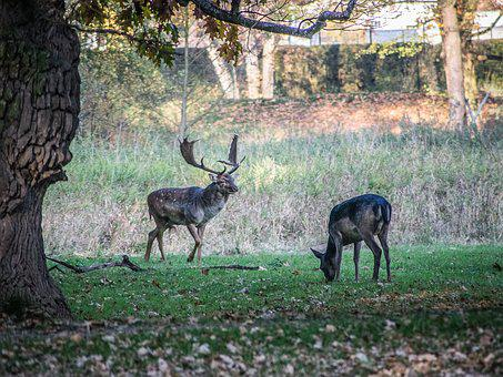 Rut, Fallow Deer, Animals, Antlers, Nature, Wild