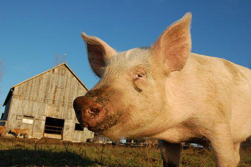 Pig, Pork, Natural, Free Range, Farm, Livestock