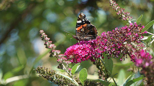 Butterfly, Insect, Flower, Nectar, Nature