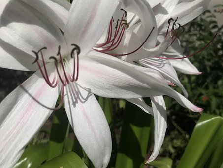 Flower, Giant White Spider Lilly, Petals, Floral