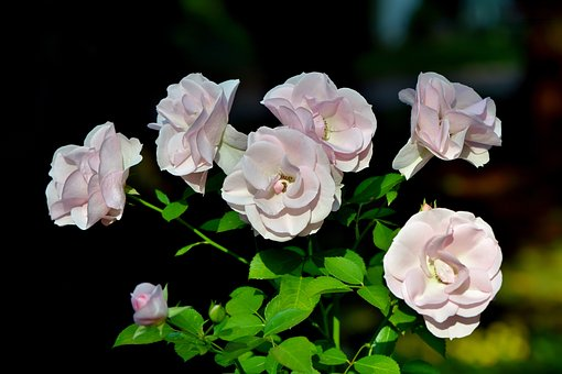 Roses, Rose Bush, Flowers, Pink, Rose Flower, Petals