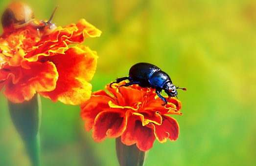Forest Beetle, The Beetles, Insect, Flower, Marigold