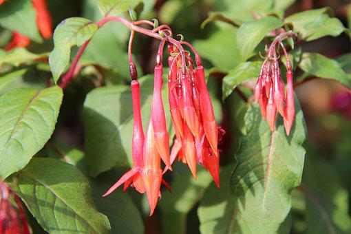 Fushia, Fuchsia Fulgens, Fushia Red, Flowering